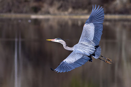 majestic-great-blue-heron-in-flight