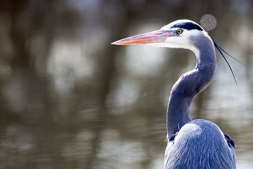 majestic-great-blue-heron-up-close