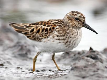 Adult Least Sandpiper | Image obtained from Cornell Lab of Ornithology