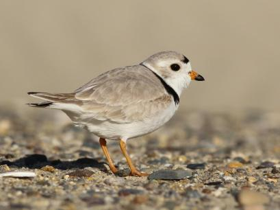 Adult Piping Plover | Image obtained from Cornell Lab of Ornithology