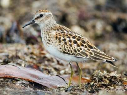 Juvenile Least Sandpiper | Image obtained from Cornell Lab of Ornithology