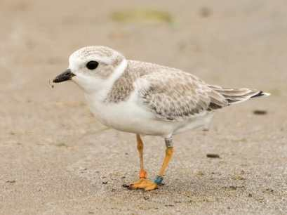 Juvenile Piping Plover | Image obtained from Cornell Lab of Ornithology