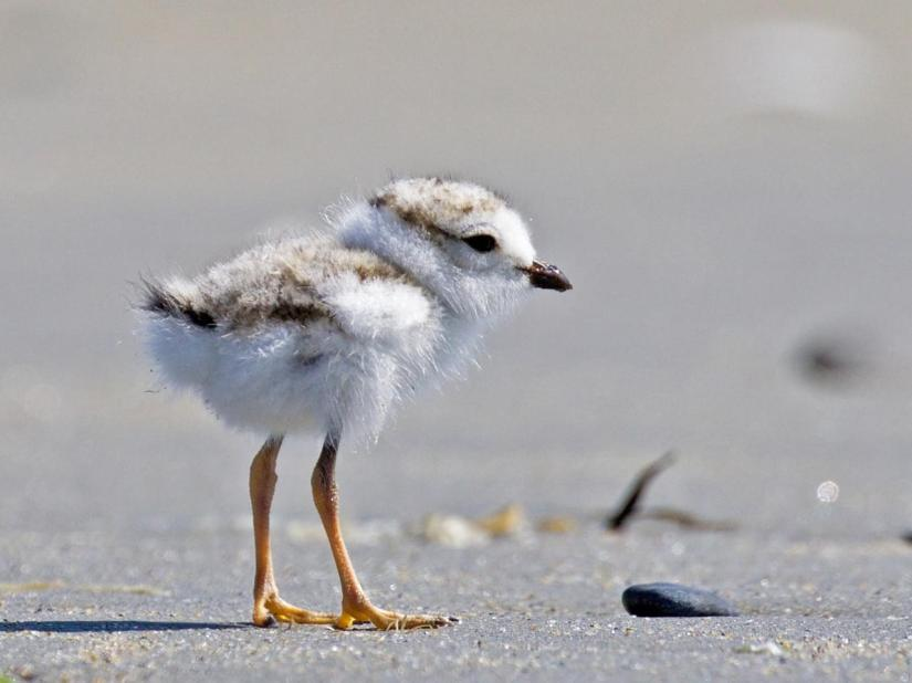 plovoer chick